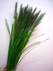 pennisetum_whole_edited-1.jpg